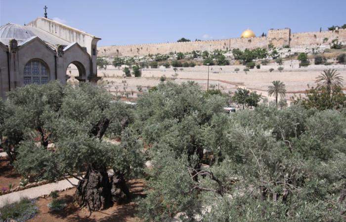 Un'immagine panoramica del giardino del Getsemani. A sinistra il fianco nord della basilica dell'Agonia (o delle Nazioni). Sullo sfondo le mura di Gerusalemme vecchia.