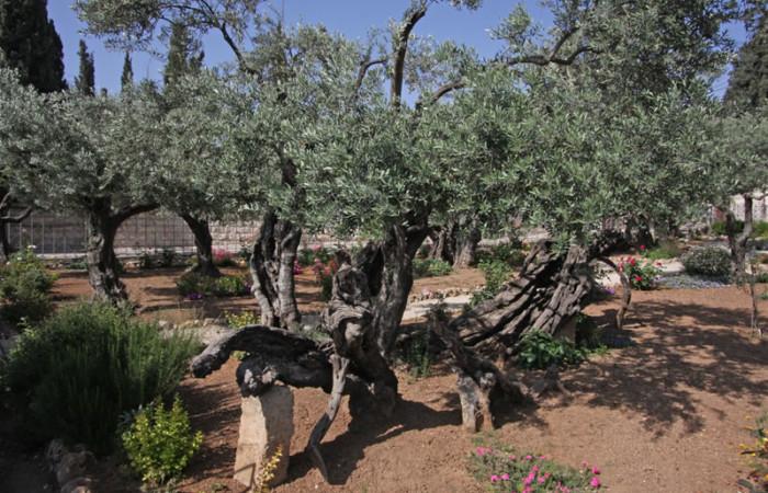Un'immagine del monumentale ulivo numero 8 del giardino del Getsemani.