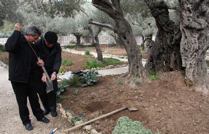 Una fase dell'analisi del terreno ai piedi dell'ulivo numero 4, per la valutazione dell'eco-sistema e verificare l'impatto dell'inquinamento sulle piante.