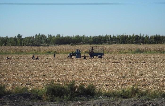 In ottobre c'è la raccolta del cotone. All'80 per cento viene realizzata a mano. (foto G.B. Rossi)