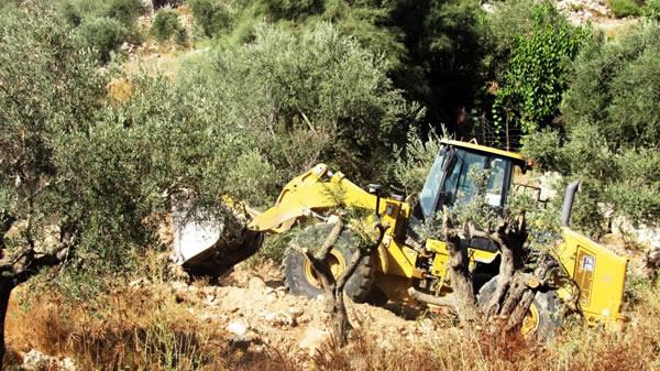 Già decine di ulivi sono stati sradicati in pochi giorni.