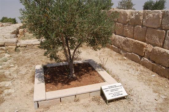L'ulivo piantato nel recinto del santuario in occasione della visita di Giovanni Paolo II nel marzo 2000.