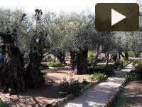 Gli alberi che fanno la storia di Gerusalemme
