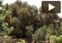 Video – L'ulivo Badawi e il villaggio palestinese di Walajeh