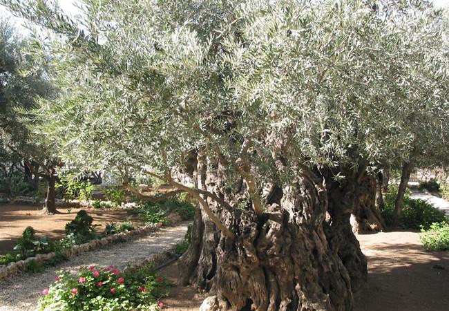 Ricerche in corso su otto ulivi plurisecolari del Getsemani