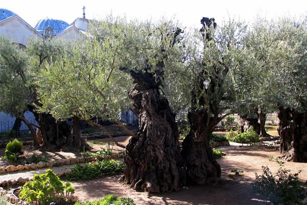 Il Getsemani avrà un ulivo in più: quello di Papa Francesco