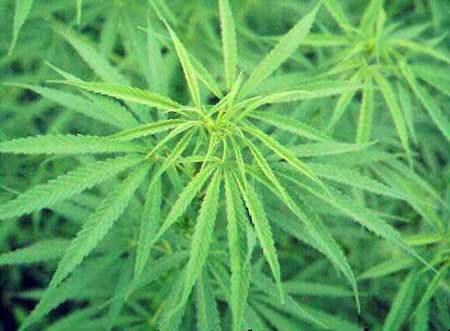 In Libano la cannabis torna alla grande