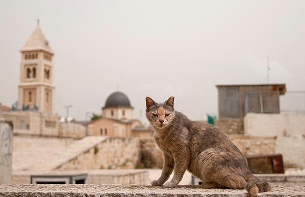Nutrire i gatti di Gerusalemme è una buona idea?