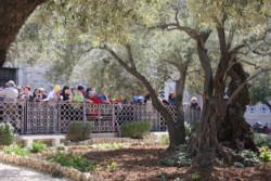 Ulivi del Getsemani, pubblicati gli esiti di un'indagine scientifica