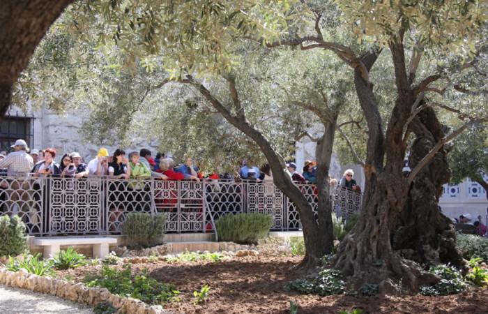Alcuni pellegrini contemplano il tronco intricato e maestoso di uno degli ulivi del Giardino del Getsemani, a Gerusalemme. (fotogallery di G. Gianfrate)