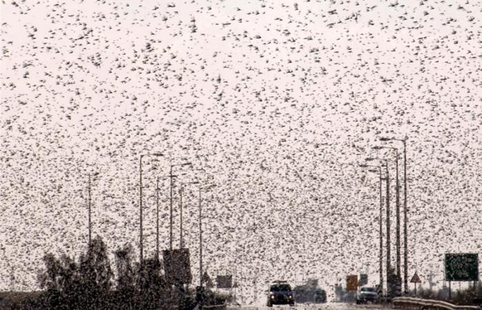 Invasione di locuste in Egitto e nel Neghev