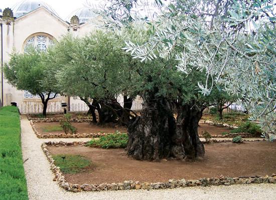 Gerusalemme. Ulivi secolari nel Romitaggio adiacente la basilica dell'Agonia.