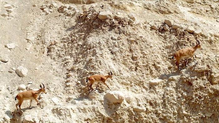 Le capre di montagna popolano l'oasi.