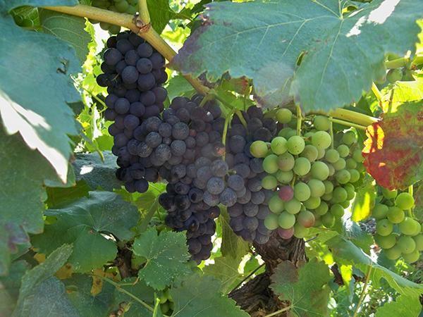 Il vino in Giordania, un monopolio cristiano
