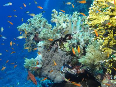 Otto Paesi cooperano per i coralli del Mar Rosso