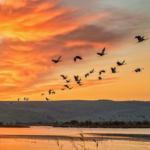 volo d'uccelli nell'oasi naturalistica di Hula - Israele